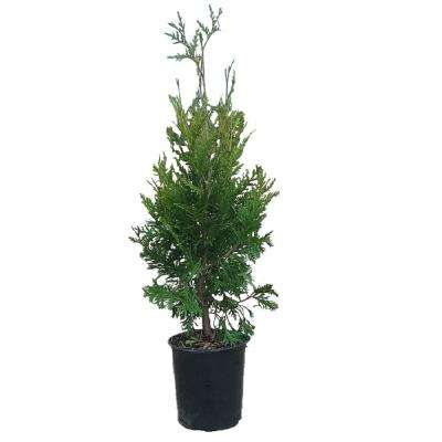 2.5 Qt. Green Giant Arborvitae(Thuja) Live Evergreen Tree, Green Foliage