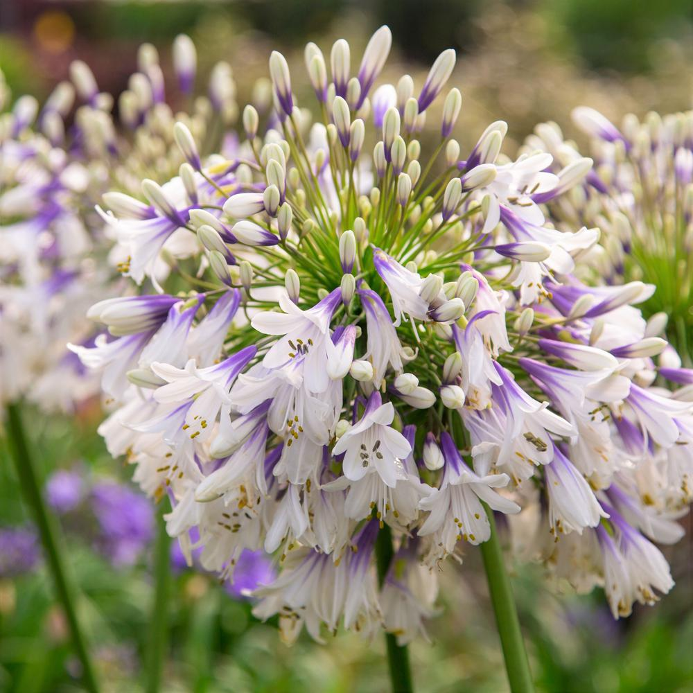 Southern Living Plant Collection 2 5 Qt Ever Twilight Agapanthus