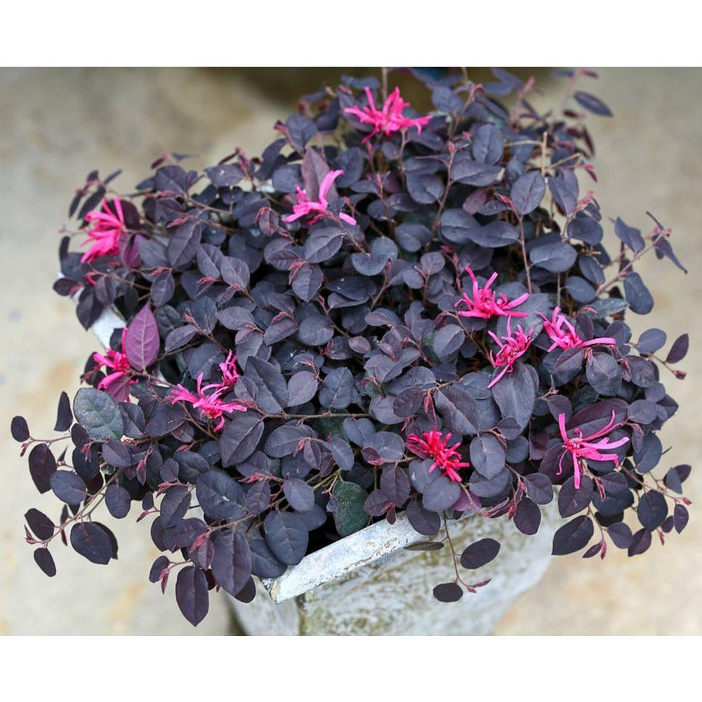 Proven Winners Jazz Hands Mini Chinese Fringe Flower Loropetalum