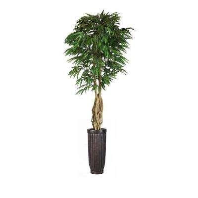 Tall Willow Ficus With Multiple Trunks In Planter