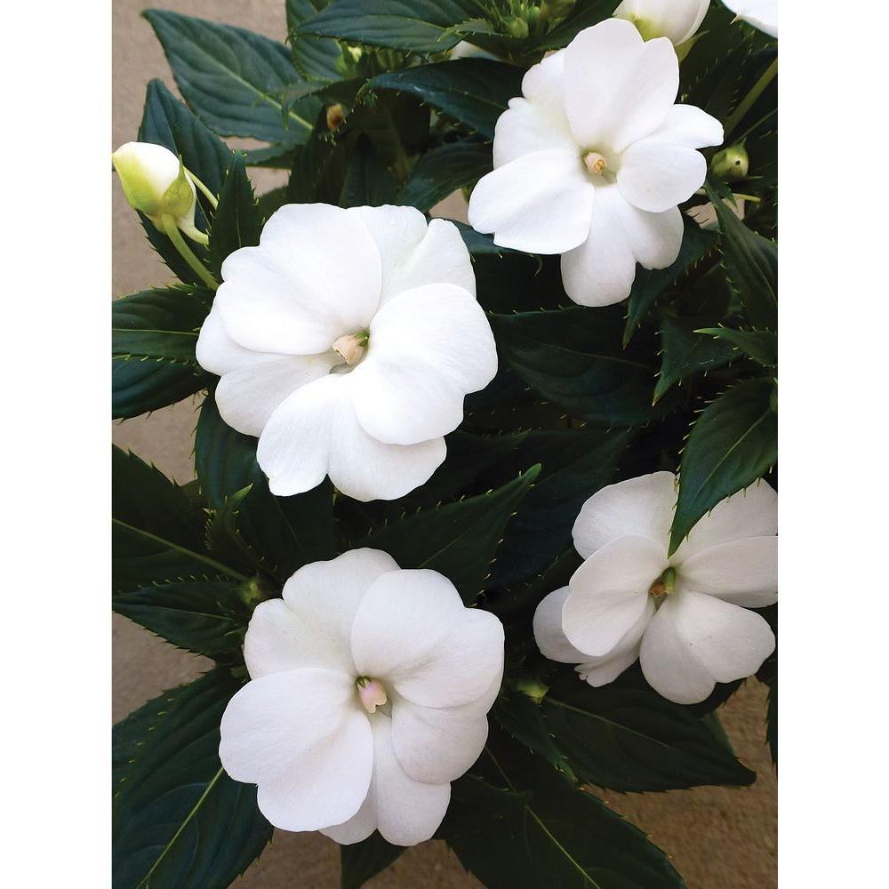 Proven Winners SunPatiens Compact White (Impatiens) Live ... White Impatiens Flowers