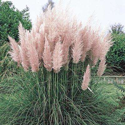 Pink Pampas Grass Potted Plant