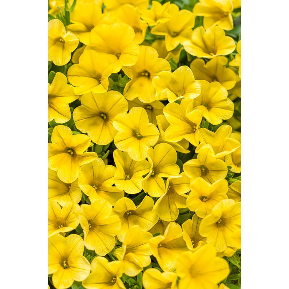 4-pack, 4.25 in. Grande Superbells Yellow(Calibrachoa) Live Plant, Yellow Flowers