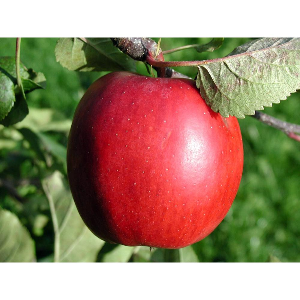 Online Orchards Dwarf Red Delicious Apple Tree Ftap005 The Home Depot