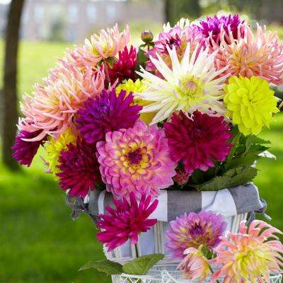 #1 Summer Wine Mix Dahlia Bulbs (5-Pack)
