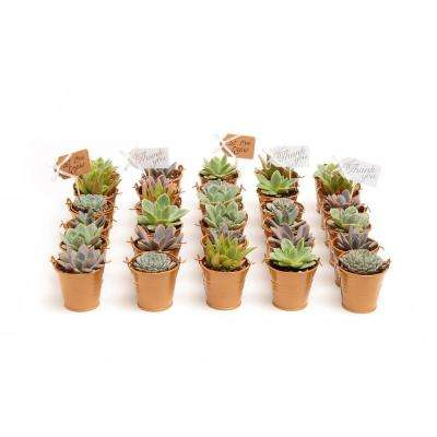 2 in. Wedding Event Rosette Succulents Plant with Caramel Metal Pails and Thank You Tags (60-Pack)