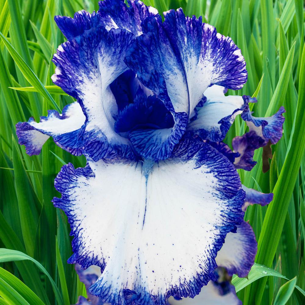 Mariposa Autumn Reblooming Iris Live Bareroot Plant White and Blue Flowering Perennial (1-Pack)