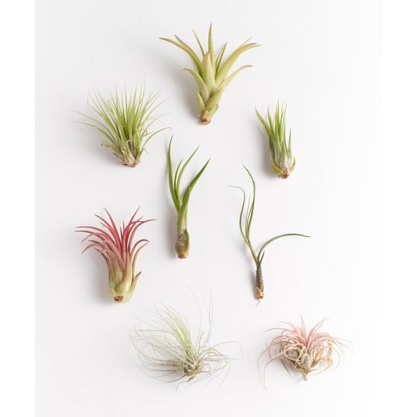 Assorted Air Plant (8-Pack)