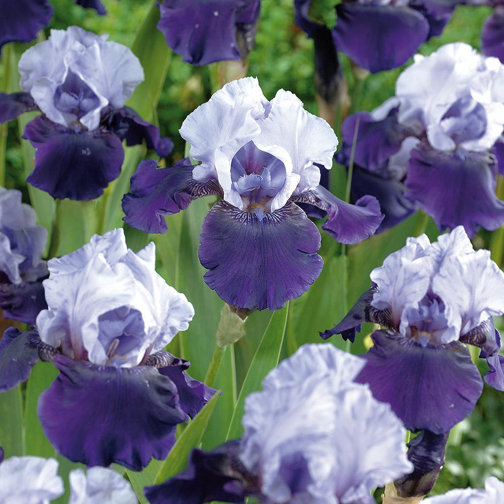 Van Zyverden Bearded Iris Bulbs Best Bet Set Of 3 Roots