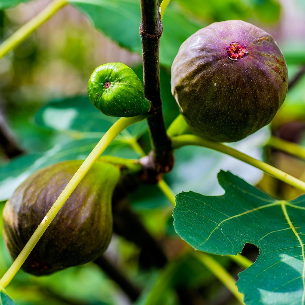 3814de5ab7cb2 Van Zyverden Brown Turkey Fig Tree (1-Plant)-83919 - The Home Depot