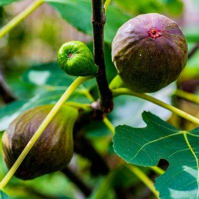 Brown Turkey Fig Tree (1-Plant)