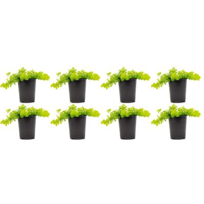 Creeping Jenny Lysimachia Plant in 4.5 in. Grower's Pot (8-Plants)
