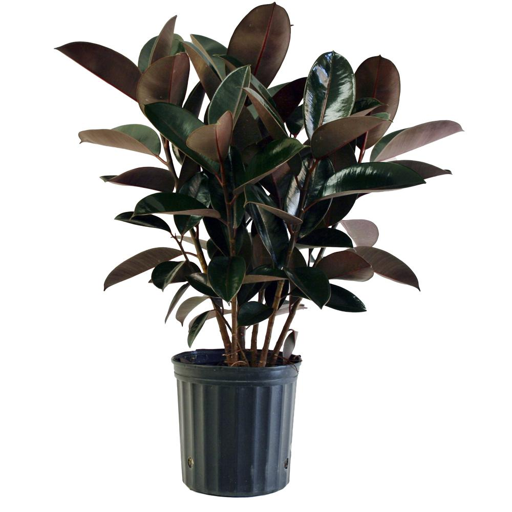 Delray Plants 8 3 4 In Burgundy Rubber Plant In Pot