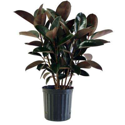 8-3/4 in. Burgundy Rubber Plant in Pot