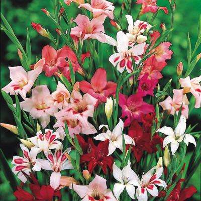 Multi-Colored Winter Hardy Gladiolus Flowers Bulb (1-Pack)