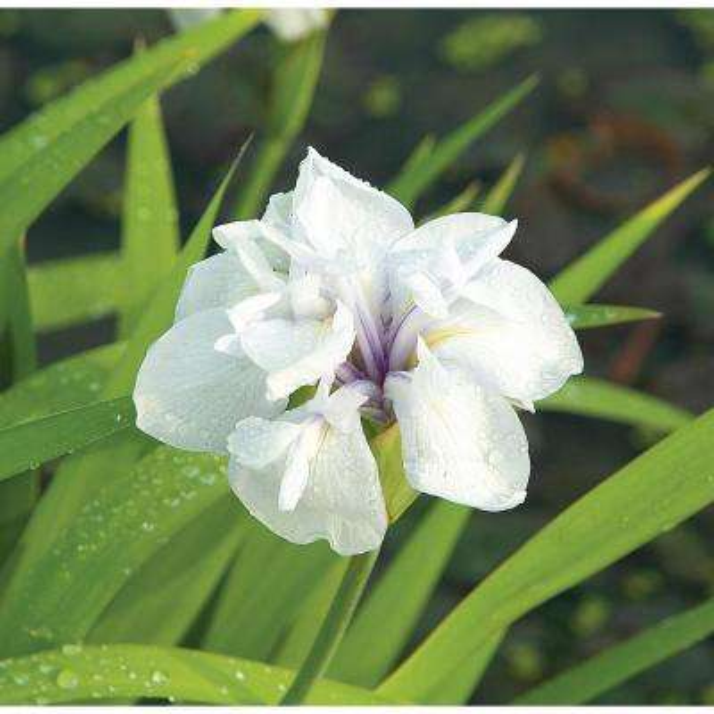 Premium Series Pond Marginal Iris Laevigata Snowdrift Kit