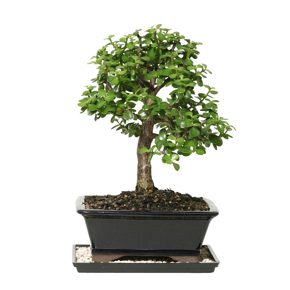 BRUSSEL'S BONSAI Dwarf Jade Bonsai