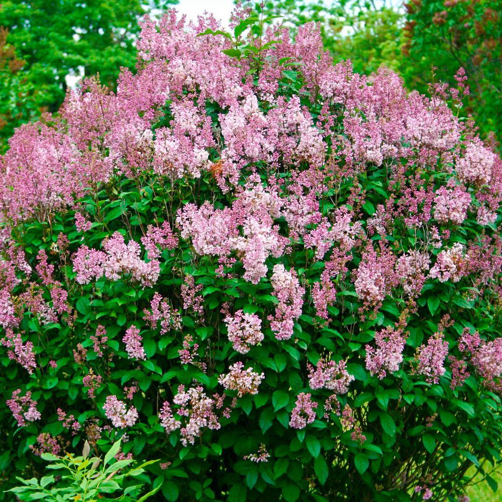Spring Hill Nurseries Minuet Lilac Syringa Starter Hedge Kit