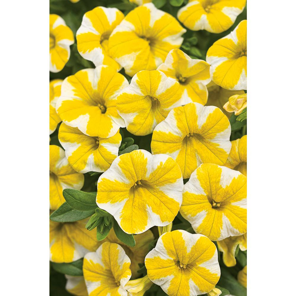 Superbells Lemon Slice (Calibrachoa) Live Plant, Yellow and White Flowers, 4.25