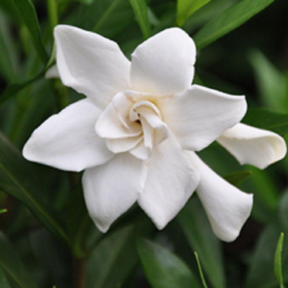 Pot   Frost Proof Gardenia, Live Evergreen Shrub, White Fragrant Blooms