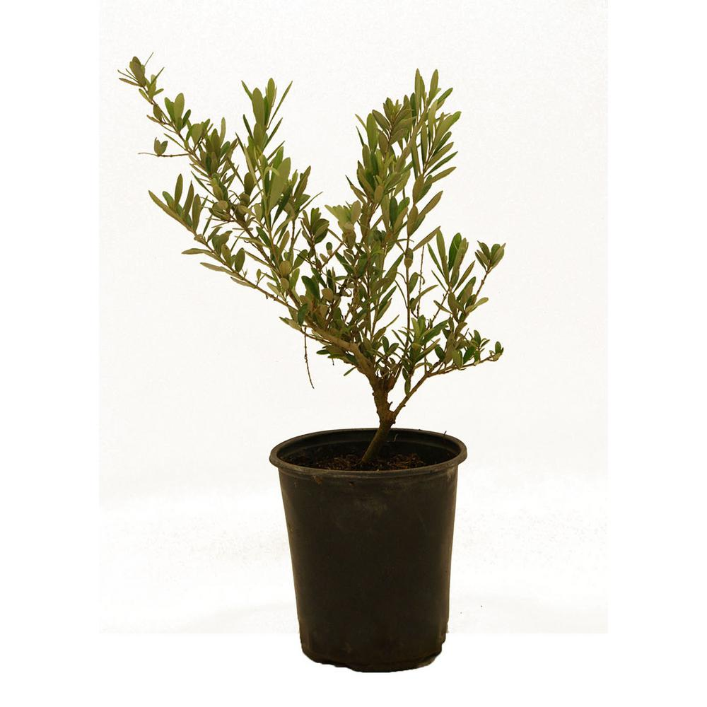 Arbequina Olive-OLIARB01G - The Home Depot