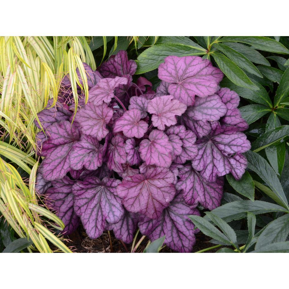4.5 in. Qt. Primo Wild Rose Coral Bells (Heuchera) Deep Purple Foliage Live Plant