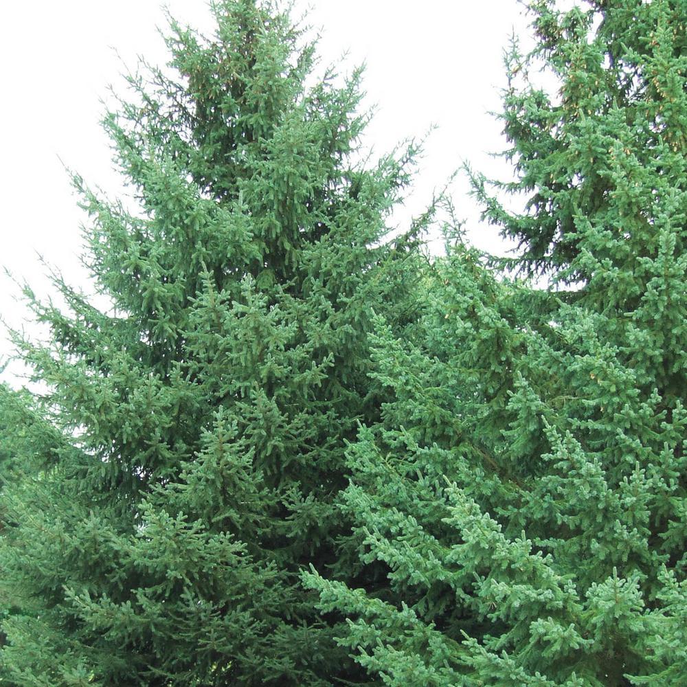 2.5 Qt. White Spruce (Picea), Live Evergreen Shrub, Green Foliage (1-Pack)