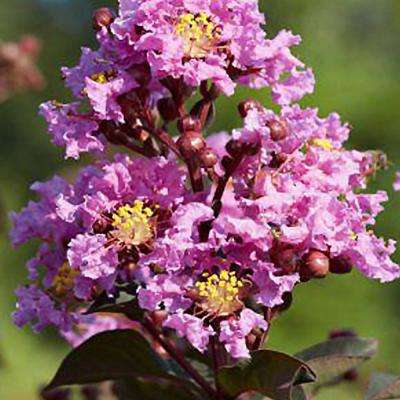 Black Diamond Lavender Lace Crape Myrtle Dormant Packaged Tree
