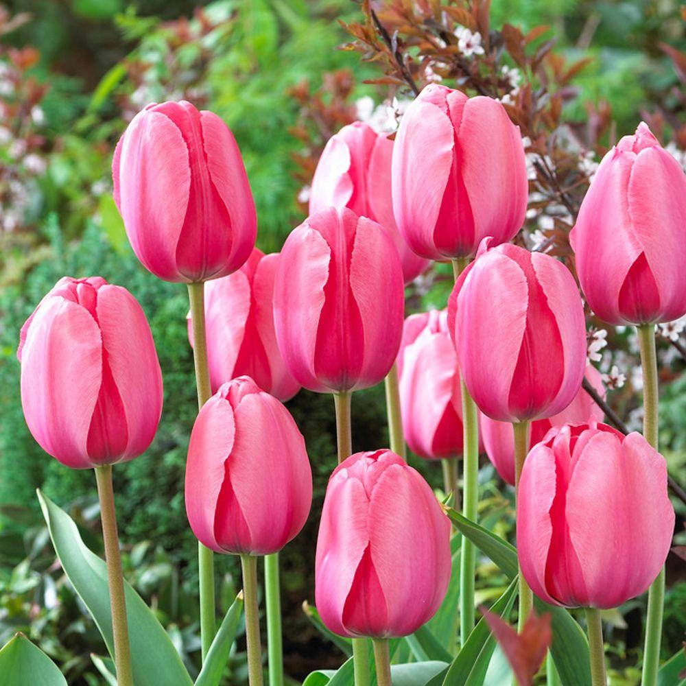 These Are Our Tulips Today >> Bloomsz Darwin Tulip Bulbs Pink Impression Flower Bulb 20 Pack