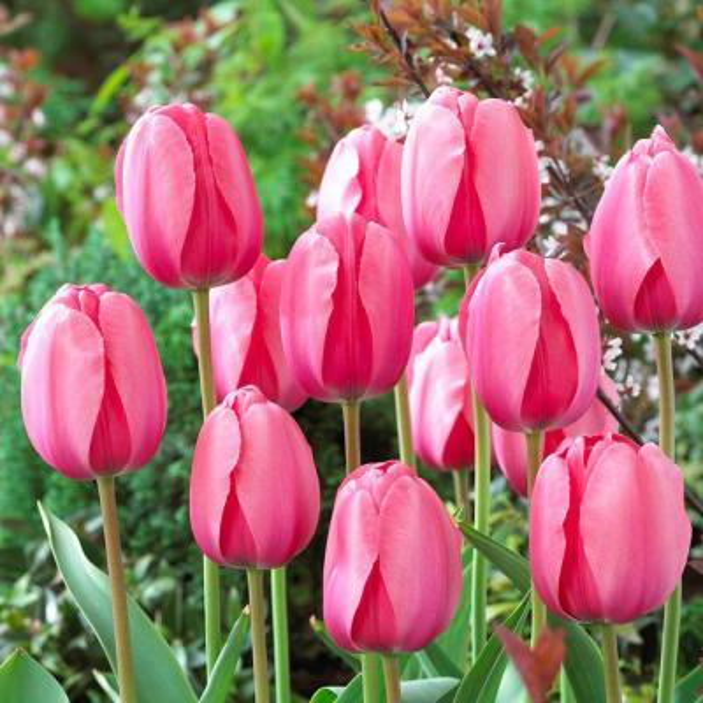 Darwin Tulip Bulbs Pink Impression Flower Bulb (20-Pack)