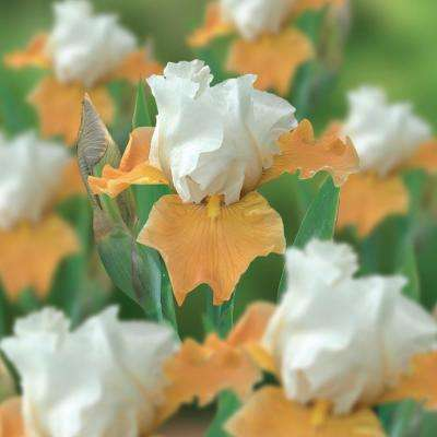 Bearded Iris Bulbs Champagne Elegance (Set of 3 Roots)