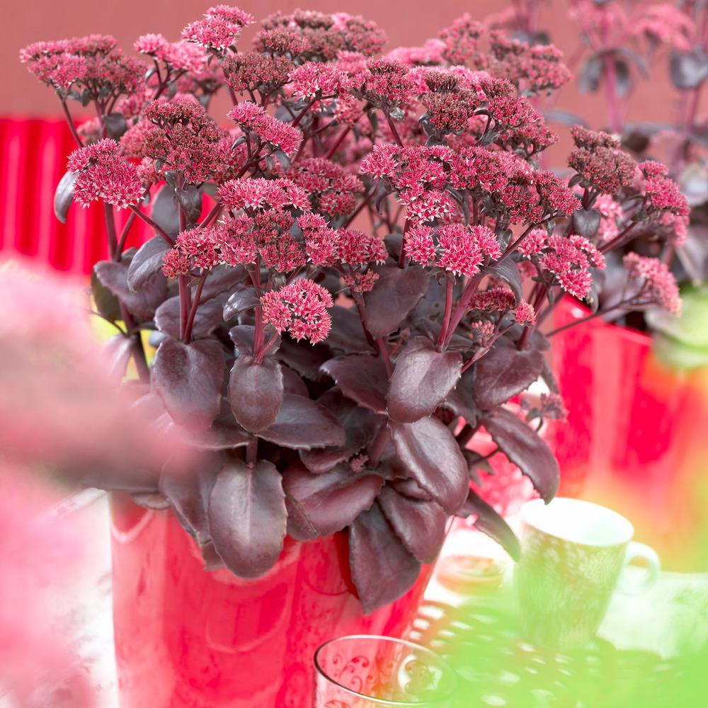 Garden Succulent Sedum Black Beauty Roots (Set of 3)