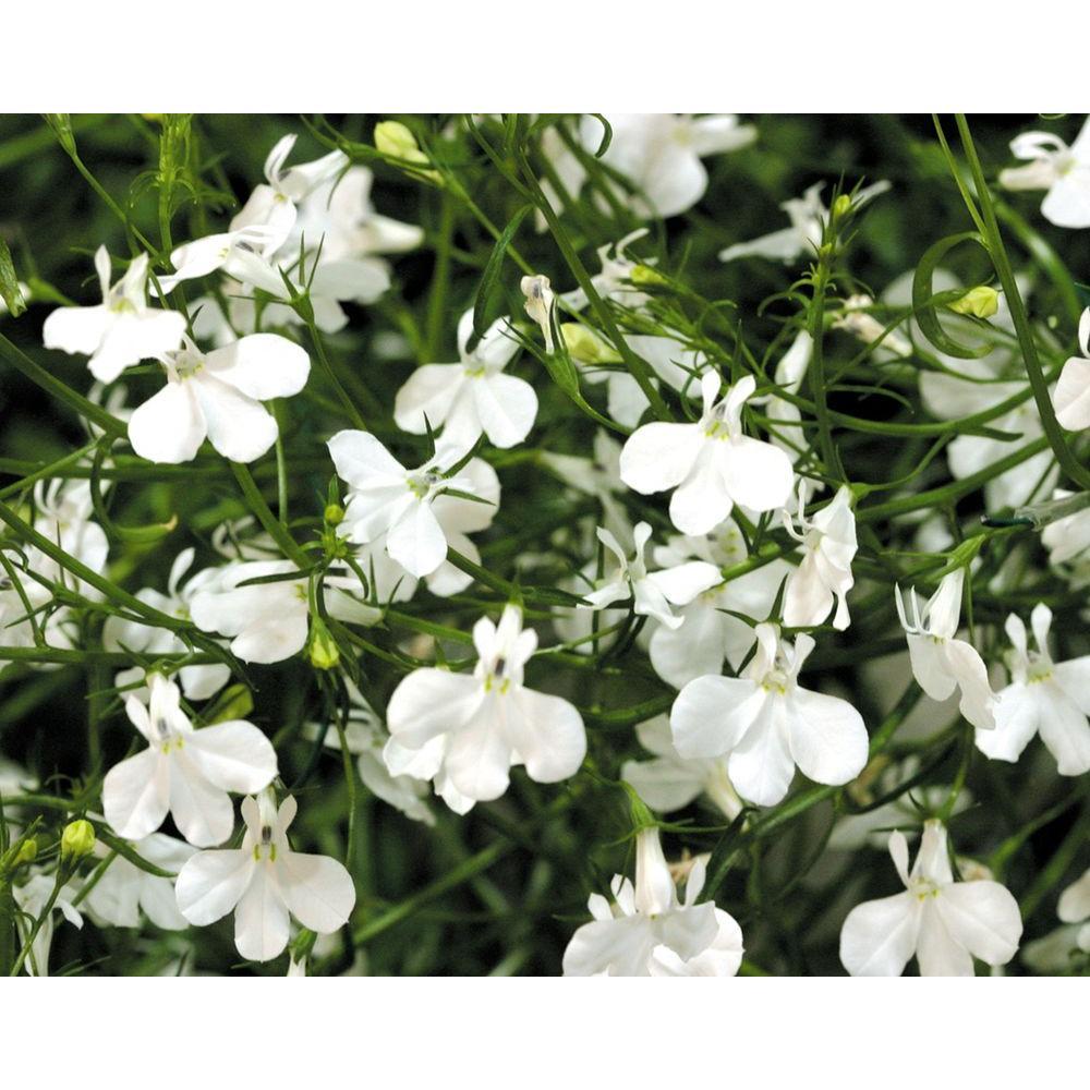 Proven Winners Laguna White Lobelia Live Plant White Flowers