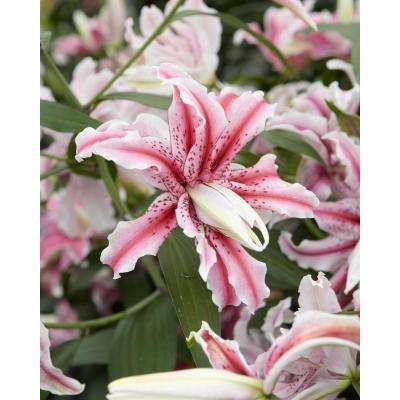 Lilium Magic Star (3-Pack)