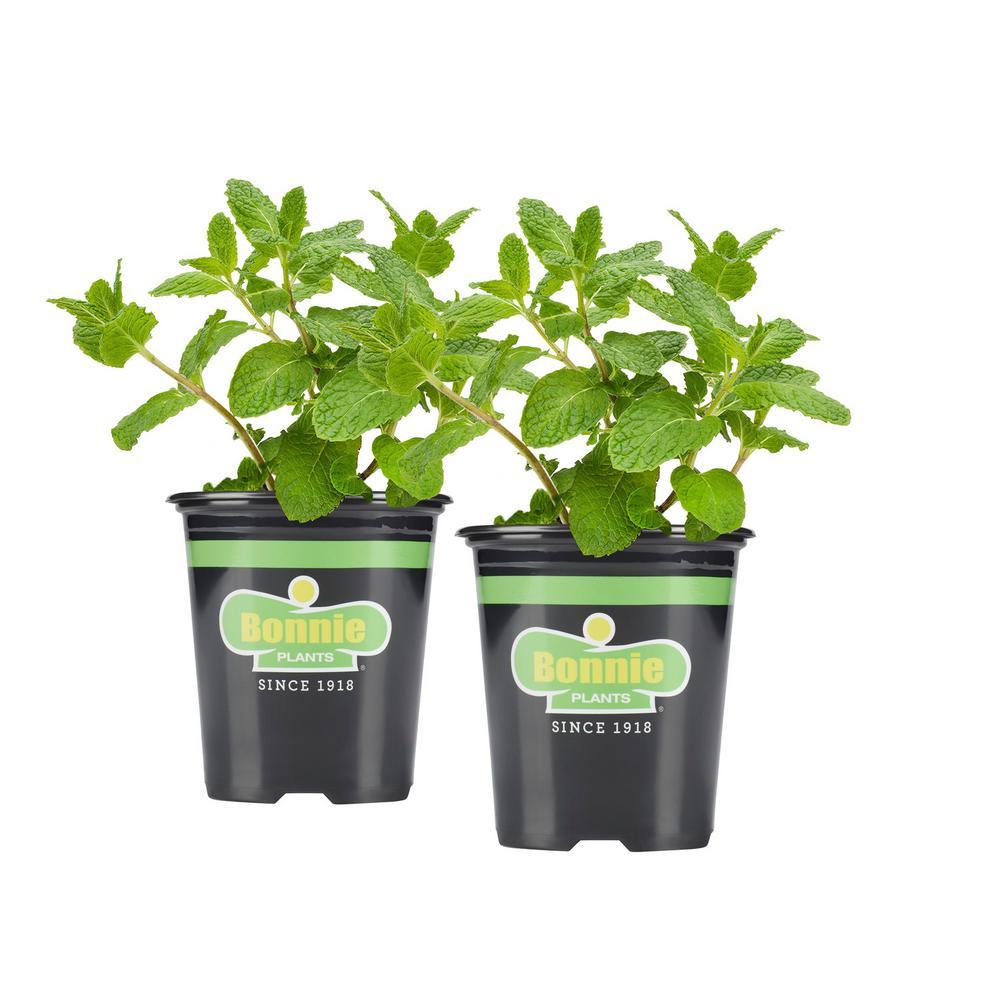 19.3 oz. Sweet Mint (2-Pack Live Plants)