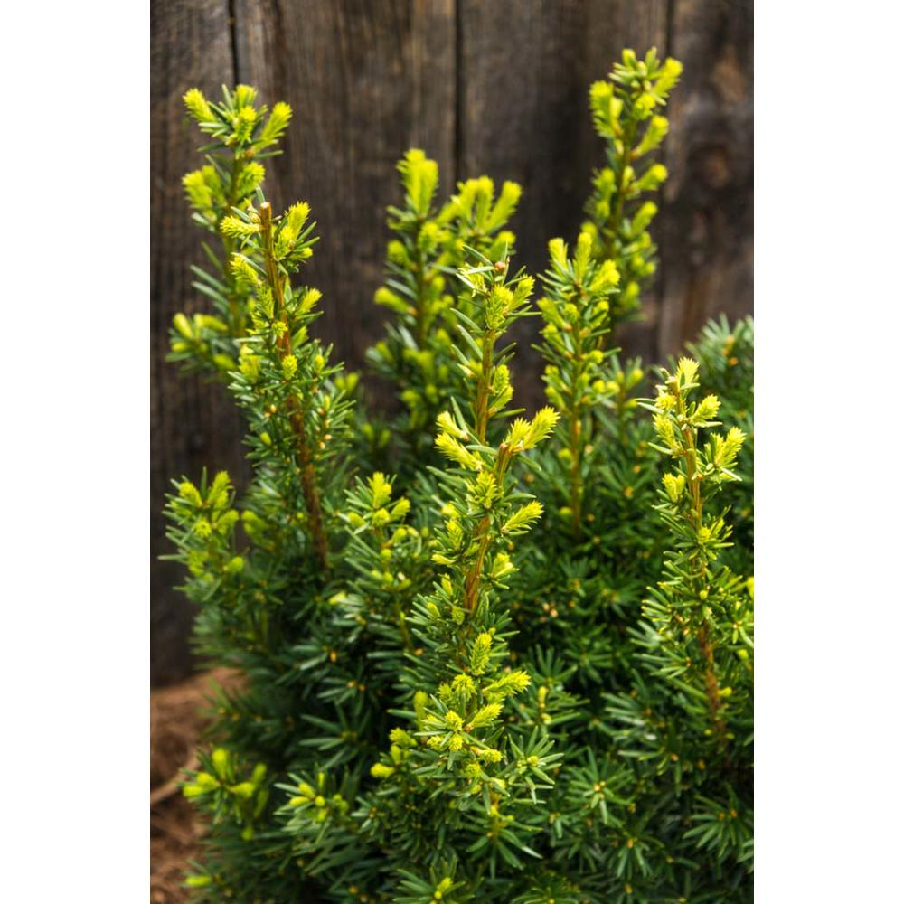 2.5 Qt. Hicksii Upright Yew (Taxus), Live Evergreen Plant, Green Foliage