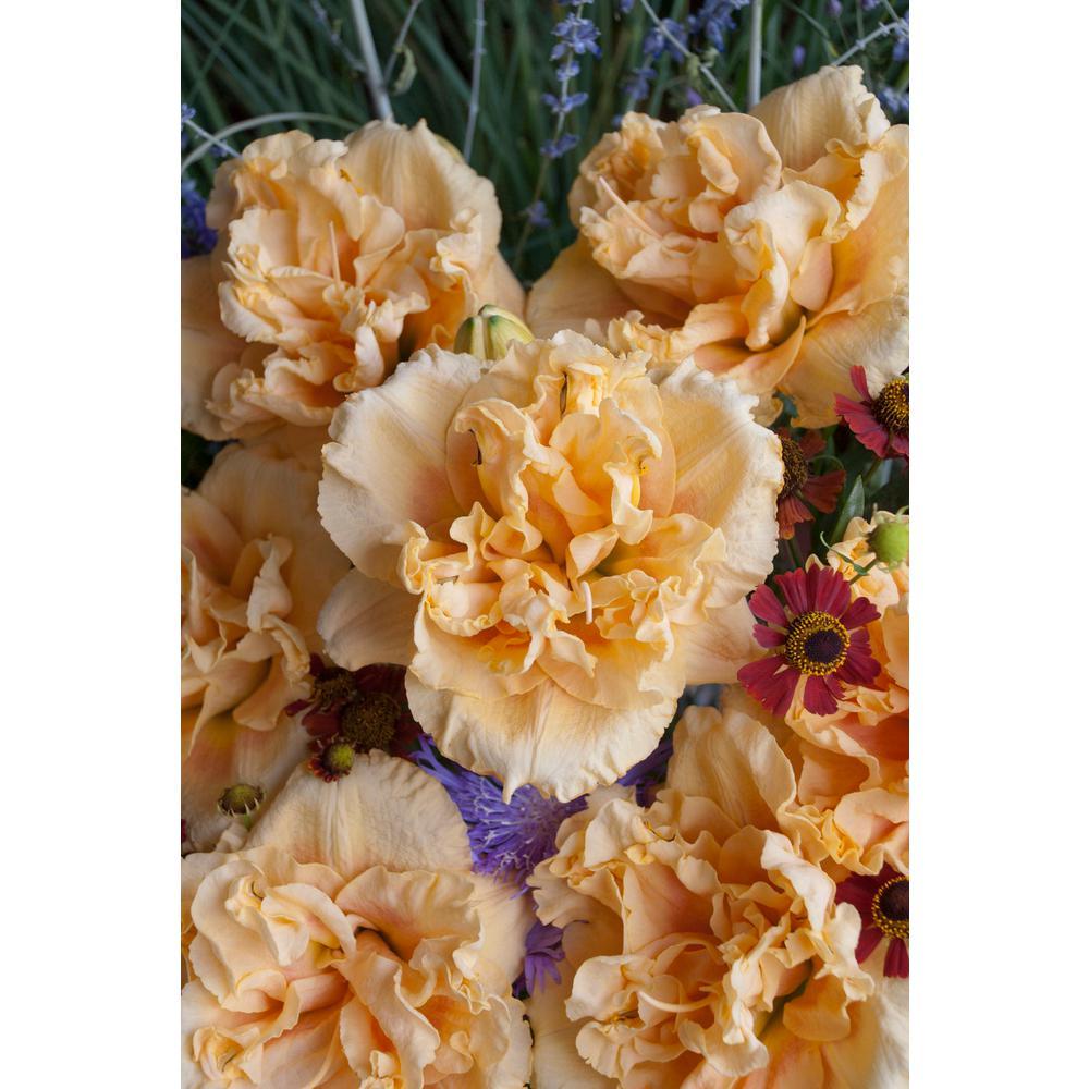 Rainbow Rhythm Siloam Peony Display Daylily (Hemerocallis) Live Plant, Peach-Pink Flowers, 3 Gal.