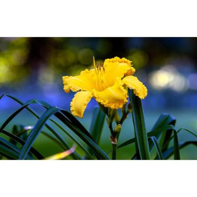 1 Gal. Happy Returns Daylily Numerous Golden Flowers Rebloom Until First Frosts