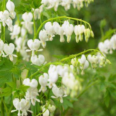 Old Fashioned Bleeding Heart (Dicentra) White Flowering Live Bareroot Plant (1-Pack)