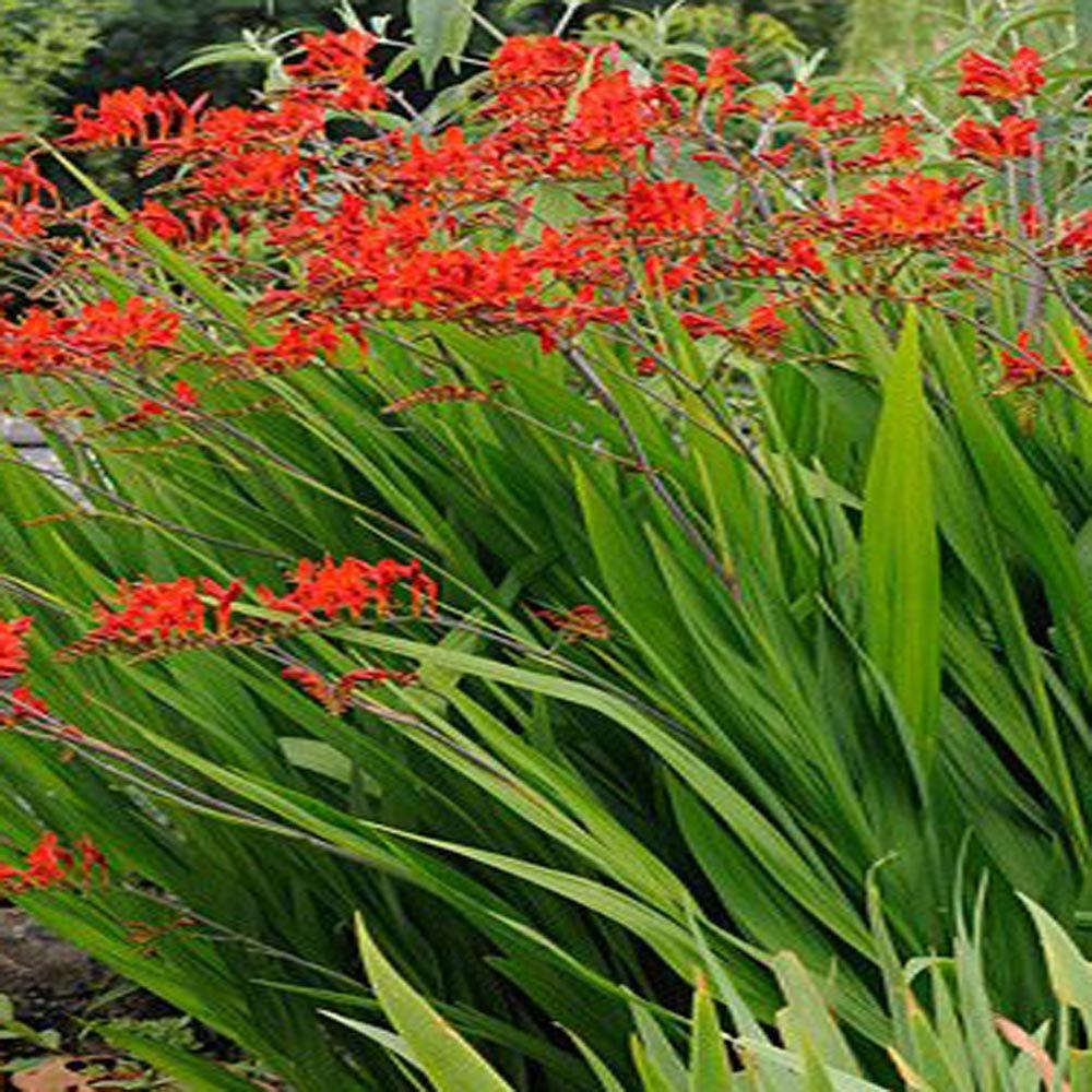 Onlineplantcenter 1 gal lucifer crocosmia plant c453cl for Flowering landscape plants