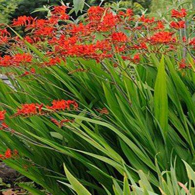 Red perennials garden plants flowers the home depot 1 gal lucifer crocosmia plant mightylinksfo