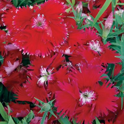 4.5 in. Red Dianthus Plant