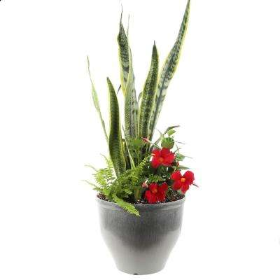 Combo Kit including Sansevieria, Fern and Mandevilla