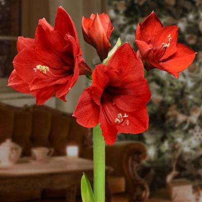 National Plant Network BlooMaker Evergreen Waxed Red Blooming Giant Amaryllis Bulbs (3-Pack)