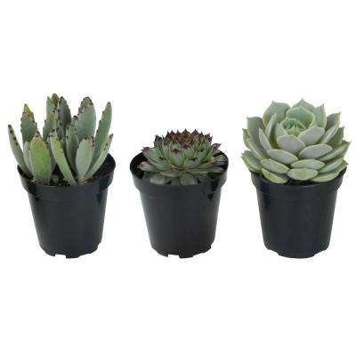 3.5 in. Hint of Silver Succulent Collection (3-Pack)