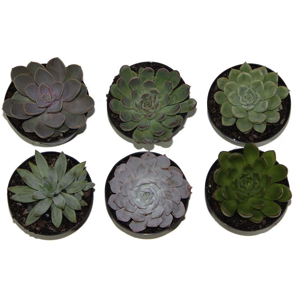 Echeveria Succulent Assortment in 4in Grower Pot (3 pack)