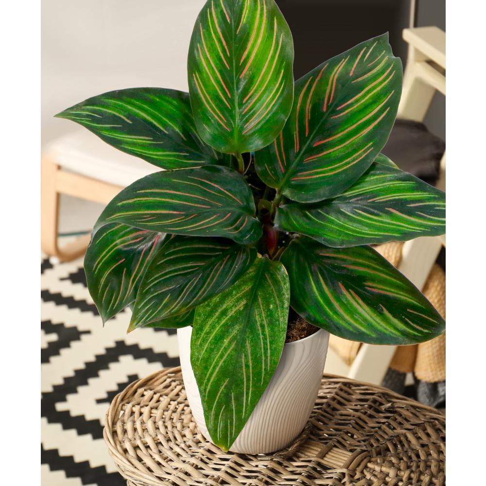 4 in. Beauty Star Calathea Plant