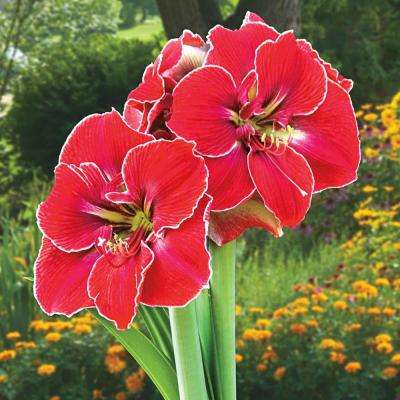 Magical Touch Amaryllis (Hippeastrum) Bulbs (3-Pack)