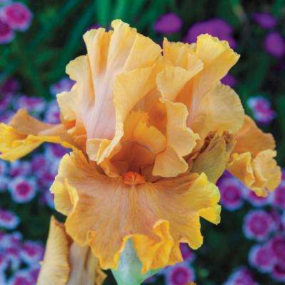 Cordoba Reblooming Iris, Live Bareroot Plant, Orange Flowering Perennial (1-Pack)