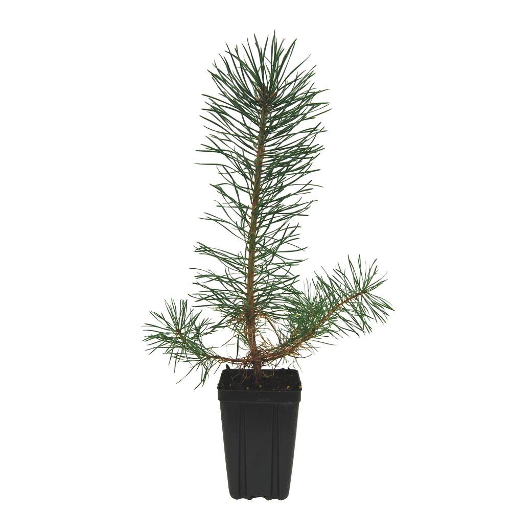 Evergreen Nursery Scotch Pine Potted Evergreen Tree Pinschaqt The